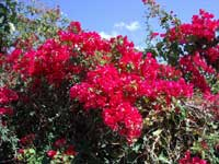 Bouganvillia in the Cupecoy parking lot